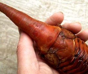 Слабонервным несмотреть: куколка жука, похожая наЧужого