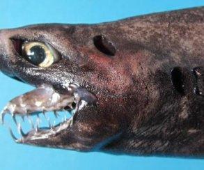 Эта жуткая акула-гадюка выглядит как ксеноморф! Посмотрите сами
