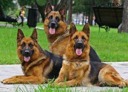 Китайцы клонировали собаку- «Шерлока». Один гениальный пес— хорошо, адва— еще лучше